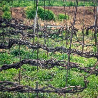 Cordón múltiple trenzado en los viñedos de la Cruz Santa